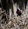 Showtime (Portraying Life, LLC) Tags: dbg6 da3004 hd14tc k1mkii michigan pentax ricoh unitedstates bird closecrop handheld nativelighting pond resident migrant