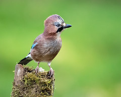 Jay (coopsphotomad) Tags: jay bird nature wildlife colour green woodland native wild canon 1dx 500mm iso bokeh perch tree outdoor detail feathers
