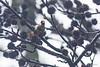 20180120_Vincennes_Chardonneret élégant (thadeus72) Tags: aves birds cardueliscarduelis chardonneretélégant europeangoldfinch fringillidae fringillidés oiseaux passériformes