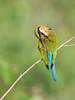 Sri Lanka '17_1040 (Jimmy Vangenechten 76) Tags: geo:lat=800340899 geo:lon=8086907581 geotagged srilanka ceylon asia azië indianocean indische oceaanwildlifeanimalbirddiervogelwilpattu national parkbluetailed beeeatermerops philippinus blauwstaartbijeneter minneriyawewa minneriyanationalpark thimbirimulla