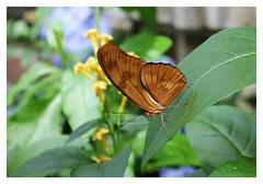 Brookside Gardens ~ Wings of Fancy (karma (Karen)) Tags: wheaton maryland brooksidegardens wingsoffancy butterflies dof bokeh julialongwing dryasiulia hss topf25