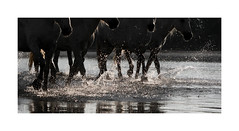 A Sparkling Performance (janinelee66) Tags: camargue horses lagoon light splashing whitehorses water glistening travel calm