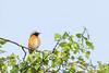 Common redstart (De Hamert, Netherlands) (Renate van den Boom) Tags: 04april 2018 europa gekraagderoodstaart hamert jaar limburg maand maasduinen nederland renatevandenboom vogels