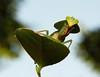 Hooded Mantis Nymph (Rhombodera sp., Mantidae) (John Horstman (itchydogimages, SINOBUG)) Tags: insect macro china yunnan itchydogimages sinobug entomology praying mantis hooded nymph mantidae sky topf25 top