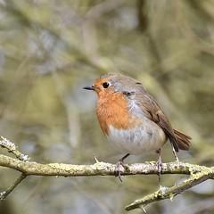 Ruffled Robin (MJ Harbey) Tags: robin bird tree branch collegelake wildlifetrust berksbucksoxonwildlifetrust tring buckinghamshire niukon d3300 nikond3300 erithacusrubecula