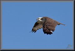 Not the one (WanaM3) Tags: wanam3 nikon d7100 nikond7100 texas pasadena clearlakecity horsepenbayou bayou outdoors nature wildlife canoeing paddling animal bird raptor osprey