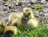 2307e2   glowing fluff     **Explore** (jjjj56cp) Tags: canadagoose gosling canadagosling spring springtime yellow glowing bright sparkling shiny sunshine golden fluff fluffy closeup portrait edenpark cincinnati oh ohio d7000 jennypansing grass lawn park resting birds aves feathers down downy beak explore