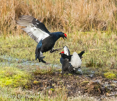 Black Grouse (Ponty Birder) Tags: g b wheeler pontybirder garywheeler wales birds grouse blackgrouse