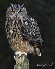 Eagle Owl Portrait_T3W2578 (Alfred J. Lockwood Photography) Tags: alfredjlockwood nature eurasianeagleowl canadianraptorconservancy crc ontario morning canada autumn portrait