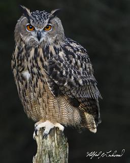 Eagle Owl Portrait_T3W2578