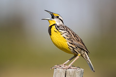 Eastern Meadow Lark (Simon Stobart) Tags: florida unitedstates us western meadow lark sturnella neglecta fence post singing coth5 naturethroughthelens ngc npc