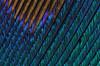 Peacock Feather (9) (Can Tunçer) Tags: can cantunçer cantuncer canon canon6d macro makro macros micro macrophotography mikro makros microscope microscop mitutoyo mitu5x metalic tunçer turkey turkiye türkiye tuncer tabletop tech texture stack stacking studio setup stuido peacock feather