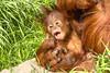 Kesuma (Kev Gregory (General)) Tags: newborn sumatran orangutan kesuma 4 months old mother emma baby infant animal mammal ape beautiful