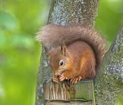 Red Squirrel (Malc Richings) Tags: mammal red squirell sciurusvulgaris nuts teeth bite wild woodland scotland forrest fast claws nature trees climb