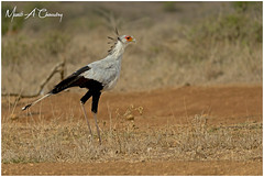 The Serpent Killer! (MAC's Wild Pixels) Tags: theserpentkiller secretarybird sagittariusserpentarius bird raptor birdlife animal wildlife birdwatcher birdperfect birder avian plumage feathers ornithology beautifulbird colourfulbird birdsofeastafrica birdofprey africanwildlife wildafrica wildanimal wildbird outdoors outofafrica safari gamedrive nairobinationalpark nairobi kenya macswildpixels coth alittlebeauty specanimal coth5 ngc npc