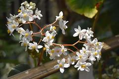 Hoya Carnosa (Wax Flowers) (Manoo Mistry) Tags: nikon nikond5500 tamron tamron18270mmzoomlens botanicalgarden birminghambotanicalgarden flowers colour fragrance hoyacarnosa waxflowers