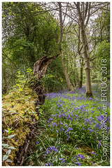"""Common Bluebell / Hyacinthoides non-scripta (I'll catch up with you later, your comments and cr) Tags: nikon1635mmf40 nikond610fx rertug tree wood forest sky """"nikonflickraward"""""""