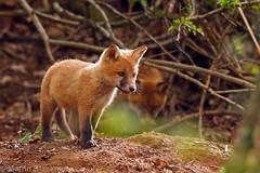 Fox cubs 9868(6D3) (wildlifetog) Tags: red fox canon cubs mbiow martin blackmore britishisles britain british england european eos6d wild wildlife nature isleofwight