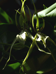 Brassia Rex 'Sakata' primary hybrid orchid (nolehace) Tags: brassia rex sakata primary hybrid orchid 418 fragrant spring nolehace sanfrancisco fz1000
