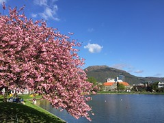 Spring in Bergen, Norway (greirik) Tags: mountains city water norway norge bergen weather summer blue sky cherry blossom spring