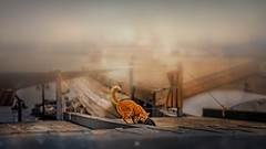 on the roof.. (salihseviner) Tags: ontheroof cats catstrories istanbulstories