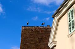 Vacances_0469 (Joanbrebo) Tags: alsace hautrhin eguisheim grandest francia fr canoneos80d eosd efs1855mmf3556isstm autofocus animales animals stork cigonya cigüeña ocells birds pájaros