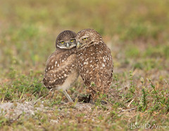 Happy Mother's Day (naturethroughmyeyes.com) Tags: burrowingowl burrowing owlet cuddles comfort nature wildlife outdoors spring motherslove florida usa northamerica barbaralynne naturethroughmyeyescom copyrightbarbdarpino barbaralynnedarpino barbdeardendarpino canon1dx eos1dx naturephotographer wildlifephotographer femalephotographer birdofprey endangeredspecies raptor
