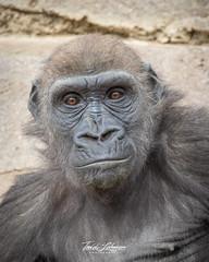Joanne (ToddLahman) Tags: joanne westernlowlandgorilla gorilla beautiful portrait mammal female outdoors sandiegozoosafaripark safaripark canon7dmkii canon canon100400 closeup escondido eyelock