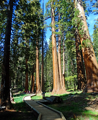 Big Tree Trail, Sequoia NP 5-18 (inkknife_2000 (9 million views)) Tags: sequoianationalpark giantsequoia bigtrees forest skyandclouds youngtrees dgrahamphoto california americasnationalparks redbark bigtreetrail roundmeadow naturaltunnel amazingtrees beautyofamerica peace beauty