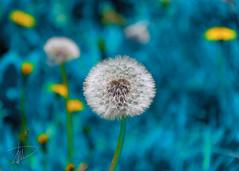 soffione in blu (DarioMarulli) Tags: laquila abruzzo allaperto fiore fiori flowers blu nikon nikonclubit natura nationalgeographic nature macro 18105 18105mm