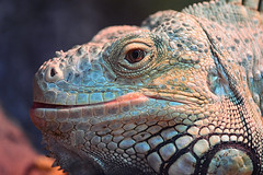 Smiling iguana (victoriameyo) Tags: iguana closeup smiling fauna 7dwf flickrfriday saycheese zoo reptile beautiful