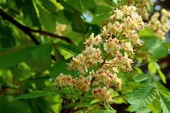 Chestnut flowers (ZdenHer) Tags: květy kaštanu arboretum žampach czech republic chestnut flowers canonpowershotg7xmkii canonpowershotg7xmarkii