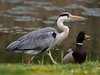 Grey Heron (Ardea cinerea ) - Get the duck out of here !! (Clive Brown 72) Tags: water wales heron duck birds hunting greyheron mallard