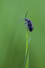 A bugs life (Birdmanjag) Tags: beetle grass insect small smallworld macro 100mm uknature ukwildlife macrophotography green