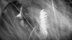 The White Flag (JJFET) Tags: border collie dog sheepdog herding