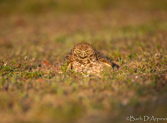 Dust Bath (naturethroughmyeyes.com) Tags: burrowingowl burrowingowldustbath dirtbath nature wildlife outdoors spring florida usa northamerica canon1dx eos1dx birdofprey raptor endangeredspecies naturephotographer wildlifephotographer femalephotographer barbaralynne naturethroughmyeyescom copyrightbarbdarpino barbaralynnedarpino barbdeardendarpino