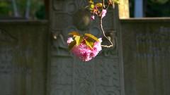 046 -1crpvibfwlcon (citatus) Tags: branch japanese flowering cherry tree mount pleasant cemetery toronto canada spring evening 2018 pentax k5 ii