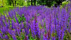 Lila zsályaerdőben járva (Szombathely) (milankalman) Tags: purple sagebrush spring nature green