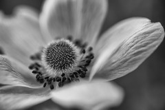 Open (ZeGaby) Tags: blackandwhite bokeh fleurs flowers macrophotography nature naturephotography pentax100mmmacro pentaxk1