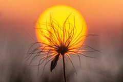 Sonnenblume (tleesch) Tags: anemoneae gewöhnlichekuhschelle gewöhnlicheküchenschellepulsatillavulgaris kuhschellen kummerowersee natur pulsatilla sepiatöne braun orange meesiger mecklenburgvorpommern deutschland de