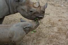 baby rhino 02 - Cleveland Zoo (Tim Evanson) Tags: easternblackrhino rhino clevelandmetroparkszoo clevelandzoo clevelandohio dicerosbicornismichaeli