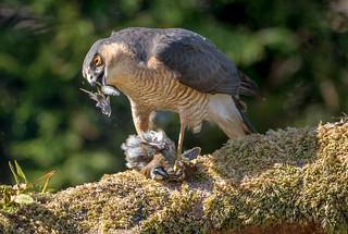 JWL3364  Sparrowhawk..