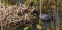 """""""Fulica atra"""" - meerkoet (bugman11) Tags: bird birds meerkoet fulicaatra animal animals fauna water nest canon 100mm28lmacro nederland nature thenetherlands overveen"""