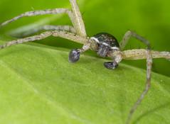 Running Crab Spider (Mike Serigrapher) Tags: running crab spider philodromus dispar macro explore