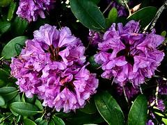 #Rhododendron #FrohePfingsten !! #HappyPentecost (RenateEurope) Tags: 2018 germany renateeurope iphoneography violet flowers flora rhododendron frohepfingsten awesomeblossoms