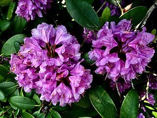 #Rhododendron #FrohePfingsten !! #HappyPentecost