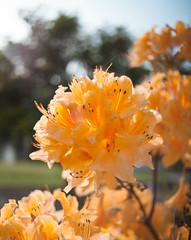 IMG_9620 (RawCanon) Tags: spring bloom flower nature washington hydrangea yellow orange macro pnw makro blossom blur
