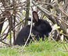 2018-04-20 Bunnies go to the beach, too! (Mary Wardell) Tags: bunny rabbit black undergrowth unexpected beach oregon oregoncoast small canon 80d