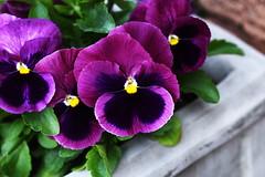 DSC_9973 (PeaTJay) Tags: nikond750 sigma reading lowerearley berkshire macro micro closeups gardens outdoors nature flora fauna plants flowers pansy pansies