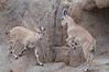 Nubian Ibex. (LisaDiazPhotos) Tags: nubian ibex africa rocks lisadiazphotos sandiegozoo sandiegozooglobal san sandiegozoosafaripark sandiegosafaripark sdzsafaripark sdzoo sdzsp